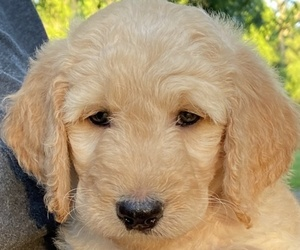 Goldendoodle Puppy for sale in BROOKER, FL, USA