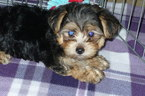 Morkie Puppy For Sale in TUCSON, AZ