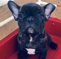 French Bulldog Puppy for Sale in HEMET, California USA