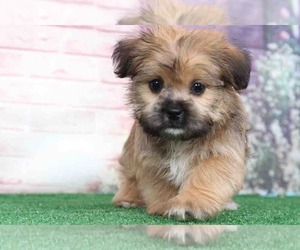 Shorkie Tzu Dog for Adoption in BEL AIR, Maryland USA