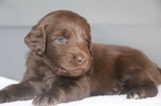 Labradoodle Puppy For Sale in CLARKSVILLE, TN,