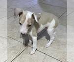 Small #2 Italian Greyhound