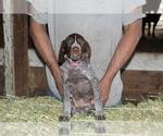 Puppy 9 German Shorthaired Pointer