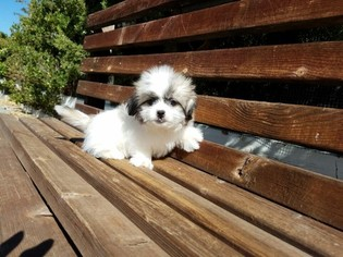 Mal-Shi Puppy For Sale in LOS ANGELES, CA