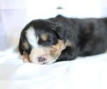 Small #5 Bernese Mountain Dog