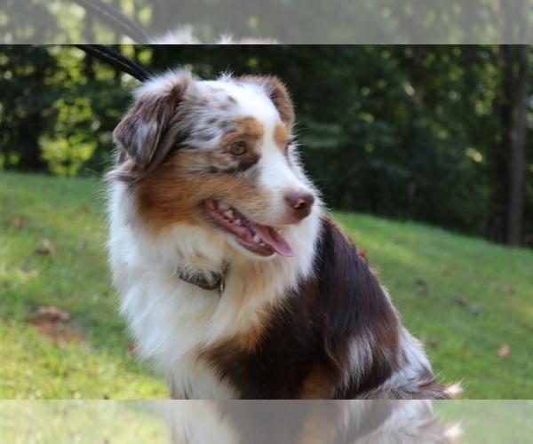Medium Photo #1 Australian Shepherd Puppy For Sale in STAFFORD, VA, USA