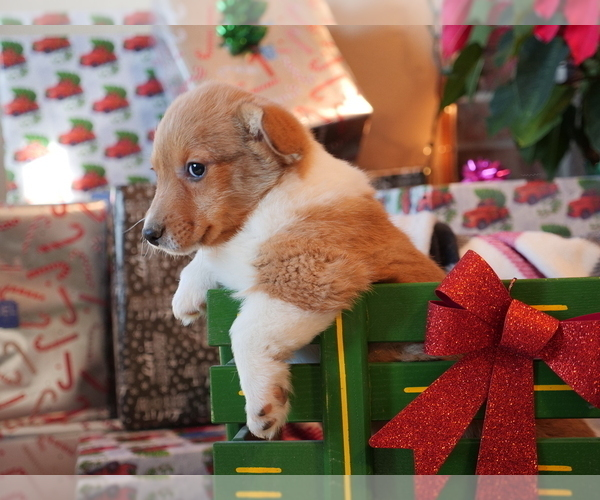 Medium Photo #3 Pembroke Welsh Corgi Puppy For Sale in SPRINGFIELD, MO, USA