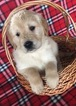 Golden Retriever Puppy For Sale in BELLEVILLE, PA, USA