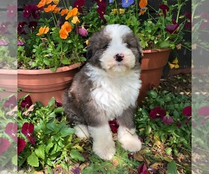 Aussiedoodle-Poodle (Standard) Mix Puppy for Sale in MAIDEN, North Carolina USA