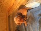 Labrador Retriever Puppy For Sale in ESKO, MN, USA