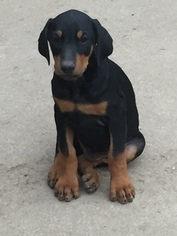 Doberman Pinscher Puppy For Sale in DENVER, CO, USA