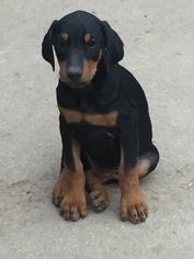 Doberman Pinscher Puppy For Sale in DENVER, CO, USA