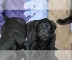 Small #33 Labrador Retriever