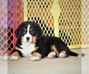 Bernese Mountain Dog Puppy for sale in WAYNESBORO, PA, USA