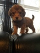 Goldendoodle Puppy For Sale in DALLAS, Texas,