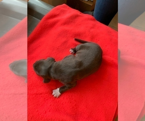Medium Photo #1 German Shorthaired Pointer Puppy For Sale in EVANS MILLS, NY, USA