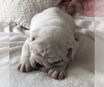 Small #15 English Bulldog