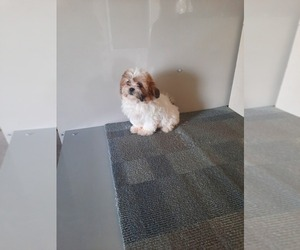 Zuchon Puppy for Sale in SHIPSHEWANA, Indiana USA