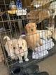 Golden Retriever Puppy For Sale near 93033, Oxnard, CA, USA
