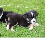 Puppy 5 Miniature American Shepherd
