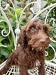 Goldendoodle-Poodle (Miniature) Mix Puppy For Sale in KISSIMMEE, FL, USA