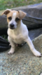 Jack Russell Terrier-Unknown Mix Dog For Adoption in ELKRIDGE, MD, USA