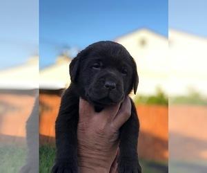 Labrador Retriever Puppy for sale in DOWNEY, CA, USA