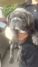 Bulldog Puppy For Sale in CHINO HILLS, CA