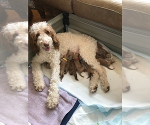 Goldendoodle Puppy for sale in NORTH SCITUATE, RI, USA