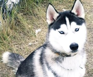 Father of the Siberian Husky puppies born on 08/23/2019