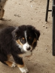 Australian Shepherd Puppy For Sale in GARDNER, KS, USA