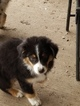 Australian Shepherd Puppy For Sale in GARDNER, Kansas,