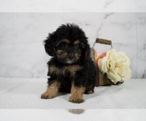 Cavalier King Charles Spaniel-Poodle (Toy) Mix Puppy for Sale in RICHMOND, Illinois USA