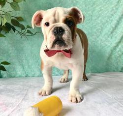 Bulldog Puppy For Sale in CRANSTON, RI, USA