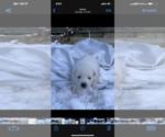 Puppy 7 German Shepherd Dog-Siberian Husky Mix