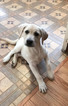 Labrador Retriever Puppy For Sale in NASHUA, NH, USA