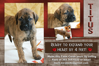 Cane Corso Puppy For Sale in BYERS, CO, USA
