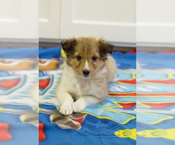 Medium Photo #3 Shetland Sheepdog Puppy For Sale in MILWAUKEE, WI, USA
