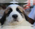 Puppy 4 Great Pyrenees-Saint Bernard Mix