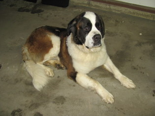 Saint Bernard Puppy for sale in LA PORTE, IN, USA