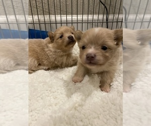 Pomeranian Puppy for sale in FAIRFIELD, CA, USA