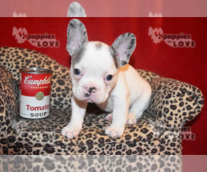 French Bulldog Puppy for sale in SANGER, TX, USA