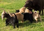 Labrador Retriever Puppy For Sale in FRENCH CAMP, CA, USA