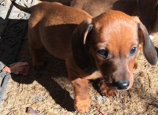 Dachshund Puppy for sale in MOORE, OK, USA