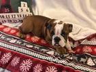 Bulldog Puppy For Sale in CHARLESTON, SC,