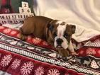 Bulldog Puppy For Sale in CHARLESTON, SC, USA