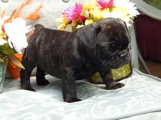 View Ad French Bulldog Miniature Bulldog Mix Puppy For Sale
