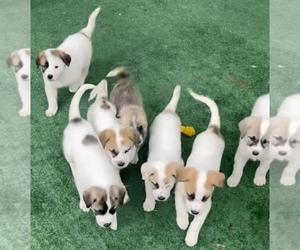 Anatolian Shepherd-Great Pyrenees Mix Puppy for Sale in CHATTAROY, Washington USA