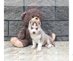 Siberian Husky Puppy For Sale in CLEVELAND, NC, USA