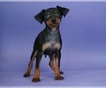Puppy 2 Miniature Pinscher